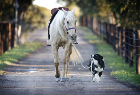 horses dogs lead horse dog walking leading take these cute border pet pony collie rides equestrian together trick than pes