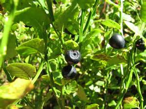 Images of Bilberry