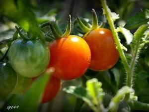 Quand Semer Les Tomates : quand planter les tomates au quebec ~ Melissatoandfro.com Idées de Décoration