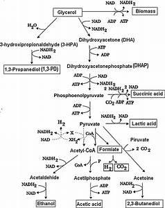 Pathways For The Glycerol Metabolism In Klebsiella Genus