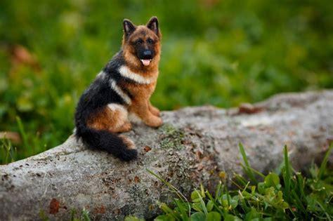 25+ Best Ideas About Miniature German Shepherd On