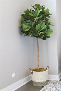 fiddle fig tree How to Make Your Faux Fiddle Leaf Fig Plant Look Real ...