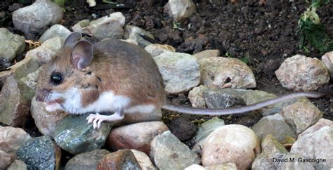show me pictures of mice travels with birds deer mouse souris sylvestre in my backyard