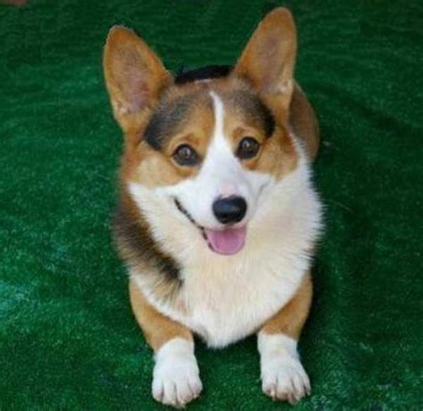 tri color corgi pembroke corgi tri color paws feathers