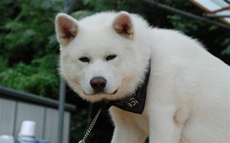 hachi top akita inu breed guide learn about the akita inu
