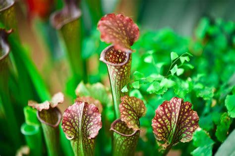 fleischfressende pflanzen repräsentative arten fleischfressende pflanzen karnivoren pflege arten und