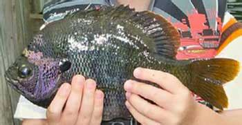 freshwater fish species florida  fishing