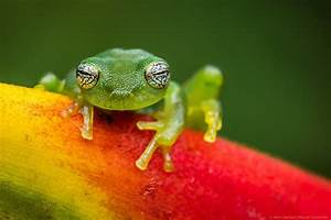 Ghost Glass Frog, Costa Rica by MCN22 on DeviantArt
