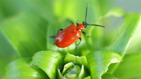 Lily leaf beetle bugs Wausau gardeners
