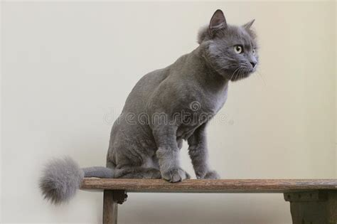 purebred gray cat gatto razza bello grigio british animals