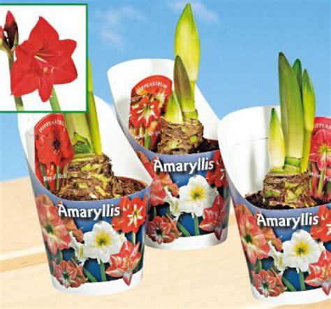 amaryllis blüht nicht amaryllis markt ansehen