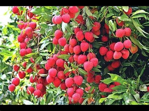 Lechee Garden Kingston by Leechee Gardens Kingston Fasci Garden