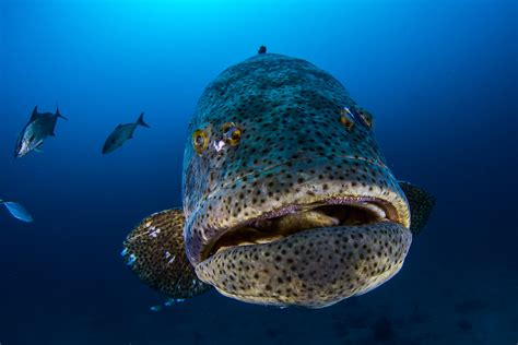 grouper goliath florida fish fishing catch lose protection spearfishing thailand spawning areas