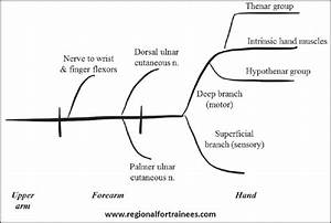 Wiring And Diagram  Diagram Of Ulnar Nerve