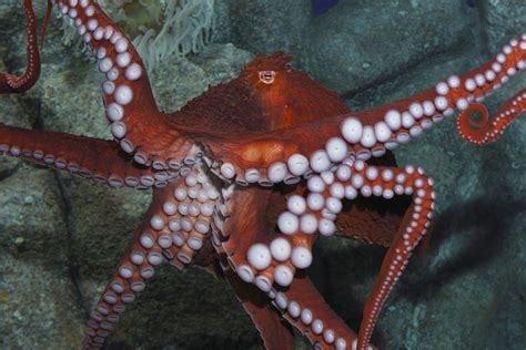 Monterey Bay Aquarium Octopus ~ Christine Odonnell