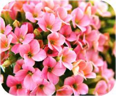 kalanchoe poisonous to cats plants toxic to pets on pinterest poisons pets and flowering succulents
