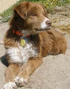 Ryder the Australian Shepherd Mix | Puppies | Daily Puppy
