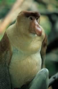 Are Proboscis Monkeys Endangered
