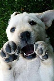 Cute Yellow Lab Puppies