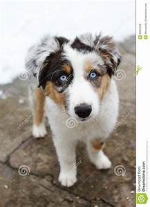 Australian Shepherd Puppy Dog Stock Photo - Image of ...
