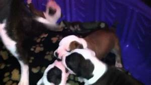 Pics For > Red Nose American Bulldog Puppies
