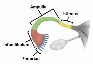 Where In A Woman U0026 39 S Reproductive Tract Does Fertilization Take Place