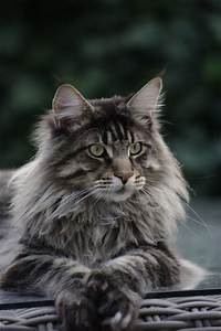 Best 15 Maine Coon - Black Tabby Blotched images on ...