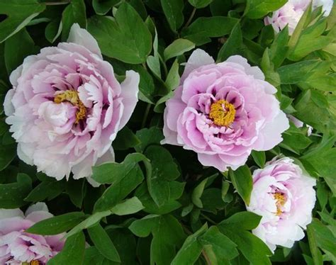 cricket hill peonies 1000 images about peonies on pinterest plants nursery trees and hill garden