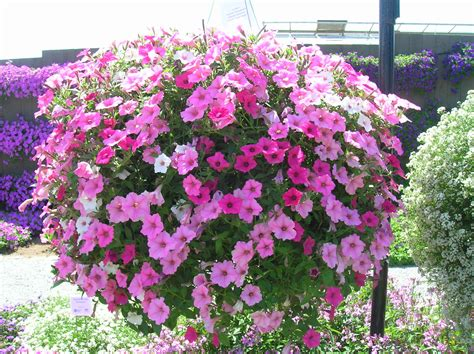 how to grow petunia gardening petunia growing pertunia annual