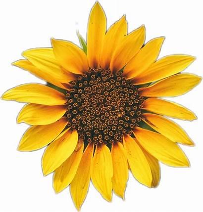 Sunflower Picsart Sticker Flower Girassol Adesivo Flor