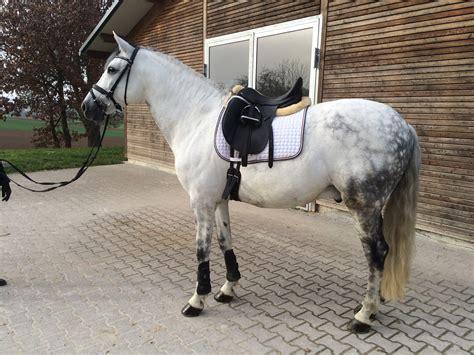 andalusier pferd pedigree rimondo