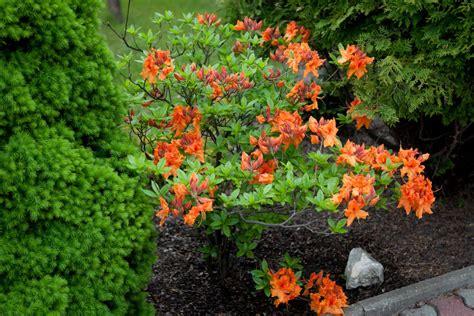 Azalia A azalia wielkokwiatowa gibraltar 183 rhododendron