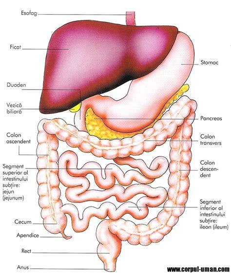 Anatomia intestinului subtire : Anatomia sl fiziologia
