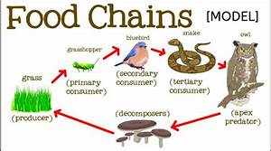 Food Chain Food Web In Ecosystem