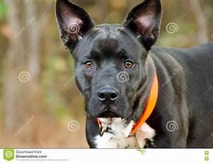 Stare Black Dog Mixed Breed Adoption Photo Stock Photo ...