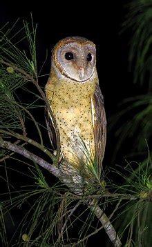 andaman masked owl wikipedia