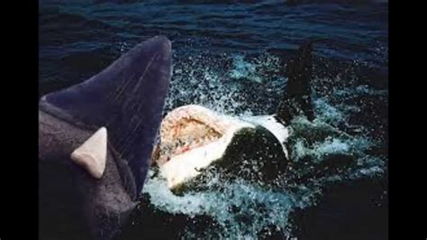 worlds largest shark  caught  megalodon proof