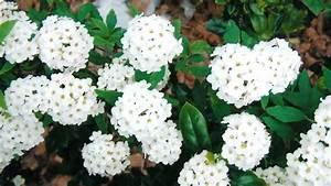 Plant Bridal Wreath Shrub  Bush   Spirea Pruniflora White Flower