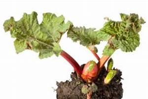 Rhabarber Ernten Im Herbst : rhabarber saison wann gibt es frischen rhabarber ~ Orissabook.com Haus und Dekorationen