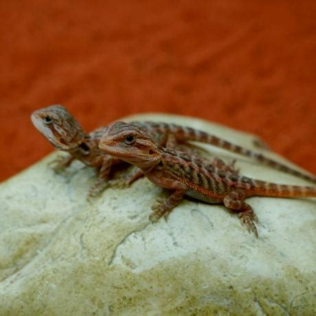 bearded dragon heat l wattage bearded dragon pogona vitticeps