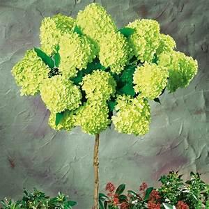 Wie Lange Blühen Hortensien : riesen bl ten hortensien stamm 39 limelight 39 online kaufen bei ahrens sieberz ~ Frokenaadalensverden.com Haus und Dekorationen