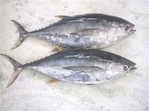 tuna fish fish r tuna fish and giant