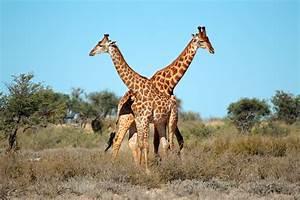 Frequently Asked Questions | Giraffe Birth Live | Animal ...  Giraffe