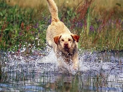 Labrador Dog Facts Labs Silver Labradors Breed
