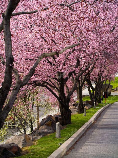 alberi con fiori rosa alberi con fiori rosa brillante a bordo di una strada