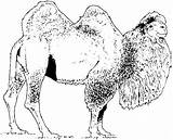 Camel Coloring Pages Bactrian Camels Printable Print Animals Drawing Supercoloring Wildlife Realistic Cute Dromedary Shaggy Paper Comments Silhouettes sketch template