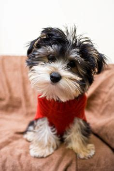 Pictures Of Small Dogs That Don T Shed by 1000 Images About Small Dogs That Don T Shed On