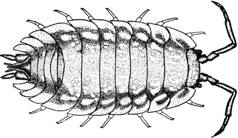 sow bug clipart