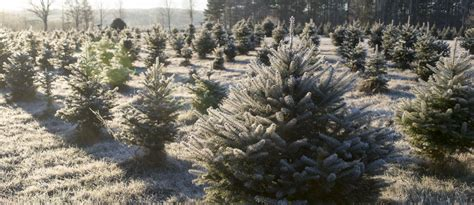cut your own christmas tree nh auburn fined cut your own