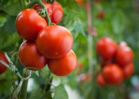 Pomodori Vaso by Coltivare I Pomodori In Vaso